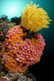Yellow Coral (Tubastrea faulkneri) and yellow crinoid in reef habitat  Horseshoe Bay  Rinca Island