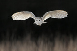Barn Owl (Tyto alba) adult  in flight  hunting over meadow  Leicestershire