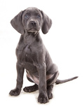 Domestic Dog  Weimaraner  blue short-haired variety  puppy