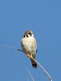 American Kestrel (Falco sparverius) adult male  perched on twig  New Mexico
