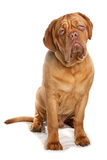 Domestic Dog  French Mastiff (Dogue de Bordeaux)  adult male  sitting