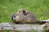 Woodchuck (Marmota monax) adult  carrying young on back  Minnesota  USA
