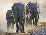 African Elephant (Loxodonta africana) adults and young  small herd making way to waterhole  Kunene
