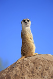 Meerkat (Suricata suricatta) adult  on lookout  Little Karoo  Western Cape
