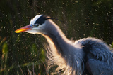 Great Blue Heron (Ardea herodias) adult  close-up of head and neck  shaking off water  Everglades