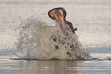 Hippopotamus (Hippopotamus amphibius) adult  in aggressive display  splashing water  Kwando