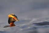 Slavonian Grebe (Podiceps auritus) adult  breeding plumage  swimming between waves  Iceland