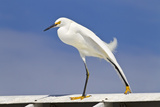 Snowy Egret (Egretta thula) adult  breeding plumage  stretching wing and leg  Florida