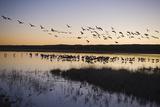 Sandhill Crane (Grus canadensis) flock  Bosque del Apache National Wildlife Refuge