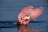 Roseate Spoonbill (Ajaia ajaja) adult with wings spread  Florida  USA