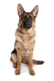 Domestic Dog  German Shepherd Dog  adult  sitting