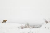 American Red Fox (Vulpes vulpes fulva) adult  standing on snow covered habitat  Wyoming