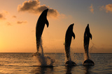 Common Bottlenose Dolphin (Tursiops truncatus) three adults  leaping  silhouetted at sunset  Roatan
