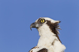 Osprey (Pandion haliaetus carolinensis) adult  close-up of head  Florida  USA