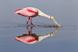 Roseate Spoonbill (Ajaja ajaja) adult  feeding in shallow water  Florida  USA
