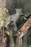 Leopard (Panthera pardus) adult  laying on branch of Yellow-barked Acacia  Lake Nakuru  Kenya
