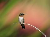 Ruby-throated Hummingbird (Archilochus colubris) adult male  perched on twig  Florida  USA