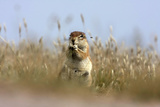 Ground squirrel eating grass - botswana