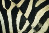 Burchell's Zebra (Equus burchellii) stripes  Botswana