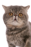 Domestic Cat  Exotic Shorthair  blue classic tabby  adult