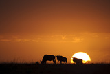 Blue Wildebeest (Connochaetus taurinus) herd  silhouetted on plain at sunrise  Masai Mara  Kenya