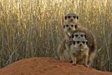 Meerkat (Suricata suricatta) four juveniles  Kuruman River Reserve