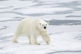 Polar Bear (Ursus maritimus) adult  walking on sea ice  Spitzbergen  Svalbard