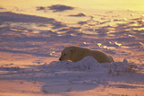 Polar Bear (Thalarctus maritimus) Lying in snow  sunrise