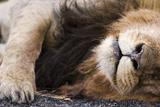 Massai Lion (Panthera leo nubica) adult male  sleeping  close-up of muzzle  mane and paw