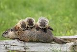 Woodchuck (Marmota monax) adult  carrying three young on back  Minnesota  USA