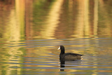 American Coot (Fulica americana) adult  swimming at dawn  Florida  USA