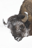 North American Bison (Bison bison) adult  close-up of head  in snow  Yellowstone