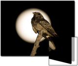 Fiery-necked Nightjar (Caprimulgus pectoralis) adult  perched on branch  Okavango Delta