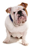 Domestic Dog  Bulldog  adult  sitting