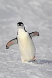Chinstrap Penguin (Pygoscelis antarctica) adult  walking on snow  Brown Bluff  Antarctic Peninsula