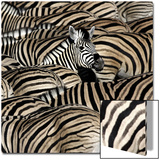 Common Zebra (Equus quagga burchellii) herd  with heads down drinking  Etosha