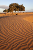 View of desert sand dunes with trees  Sahara  Morocco  may