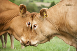 Domestic Cattle  Limousin cows  close-up of heads  fighting each other