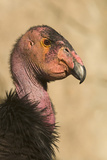 California Condor (Gymnogyps californianus) adult  close-up of head  Arizona  USA