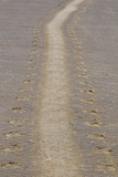 Grey Seal (Halichoerus grypus) tracks in sand  Donna Nook  Lincolnshire  England