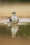 Northern Mockingbird (Mimus polyglottos) adult  bathing in pool  South Texas  USA