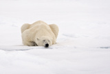 Polar Bear (Ursus maritimus) adult  sleeping on snow  Murchisonfjorden  Svalbard