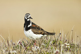 Ruddy Turnstone (Arenaria interpres) adult male  breeding plumage  standing on tundra  near Barrow