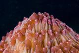 Red Disc Coral (Fungia sp) polyps  Lembeh Straits  Sulawesi  Sunda Islands