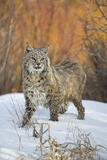 Bobcat (Lynx rufus) adult  with wet coat  standing on snow  Montana
