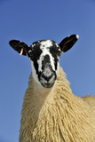Domestic Sheep  mule gimmer lamb  close-up of head and chest  ready for sale