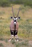 Gemsbok - botswana