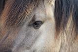 Horse  Konik  adult  close-up of eye