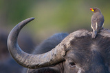 Red-billed Oxpecker (Buphagus erythrorhynchus) adult  Kenya