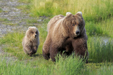 Grizzly Bear (Ursus arctos horribilis) adult female with cub  foraging at edge of water  Katmai